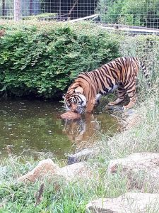 Buy Rope Donates Boat Fenders to the Tigers at Shepreth Wildlife Park
