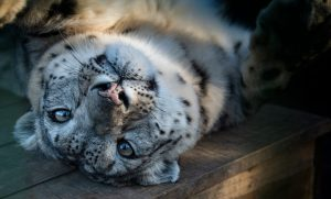 Fundraising for The Big Cat Support Fund